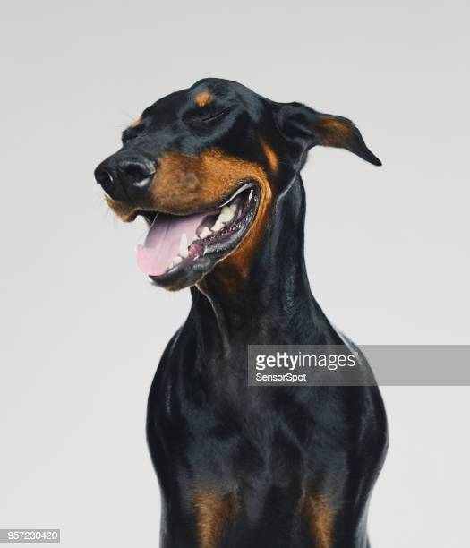 dobermann dog portrait with human happy expression - dog stock pictures, royalty-free photos & images