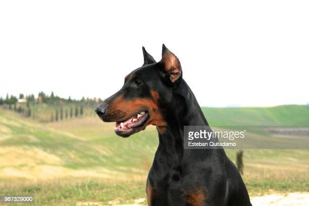 dobermann in the crete senesi - doberman foto e immagini stock