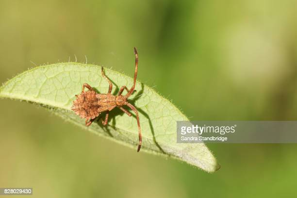 a dock bug (coreus marginatus) perched on a leaf. - hertford hertfordshire stock pictures, royalty-free photos & images