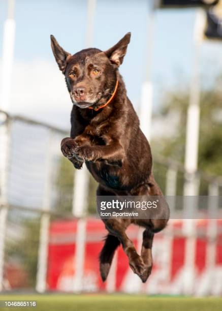 Dock Diving dogs before the football game between the UCF and SMU on October 6 2018 at Bright House Network Stadium in Orlando FL