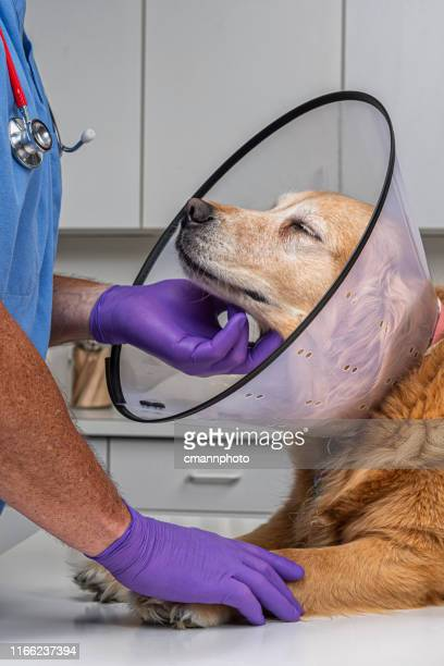 doctor comforting a dog wearing an e-collar in veterinary office - cmannphoto stock pictures, royalty-free photos & images