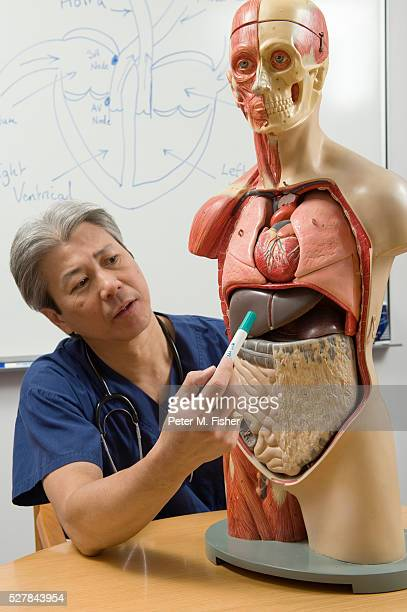 Doctor Looking at Anatomical Model