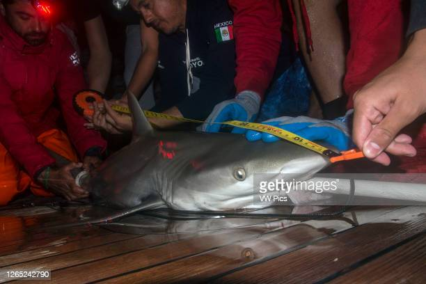 Doctor Mauricio Hoyos and a marine scientist mesure a juvenile Galapagos Shark in Clarion Island, Revillagigedo. After taking blood and tissue...