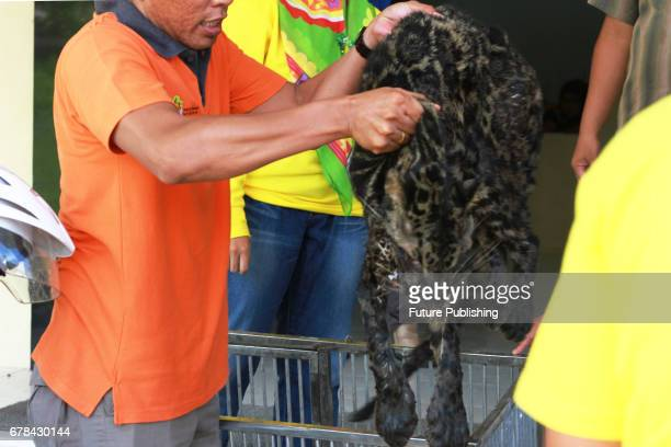 Doctor seen doing a check up of an endangered Sumatran Clouded Leopard rescued on May 03 2017 in West Sumatra Indonesia The leopard slumped while...