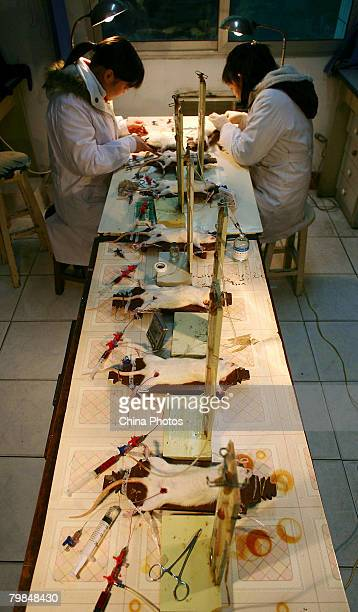 Doctors carry out a hemorrhagic shock experiment on white rats in a laboratory of Daping Hospital on February 20 2008 in Chongqing Municipality China...