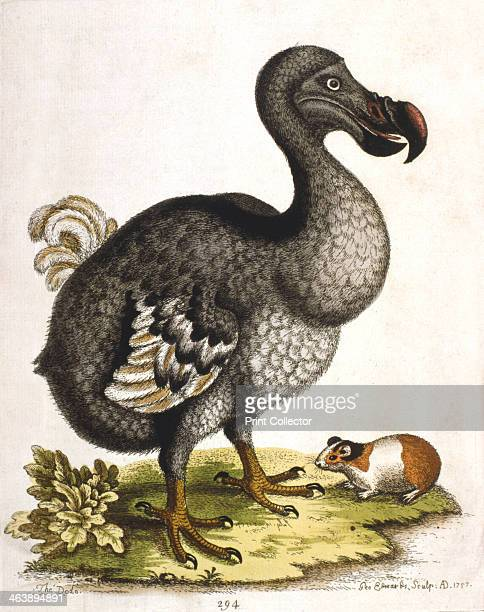 Dodo and guinea pig 1750 A dodo Didus ineptus an extinct flightless bird from Mauritius and a guinea pig Cavia porcellus a rodent native to South...