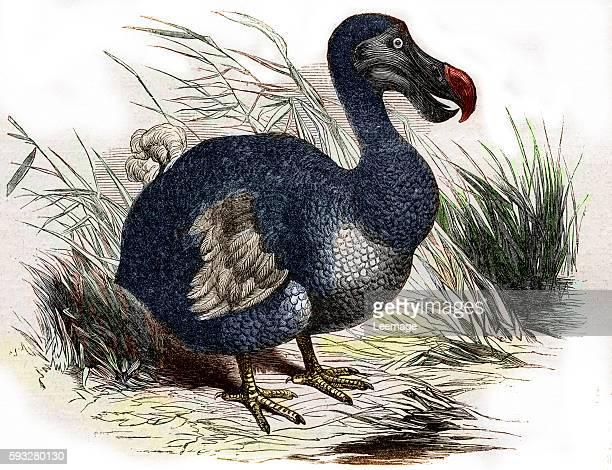 Dodo Raphus cucullatus Didus ineptus extinct flightless bird Engraving 1880 Private collection