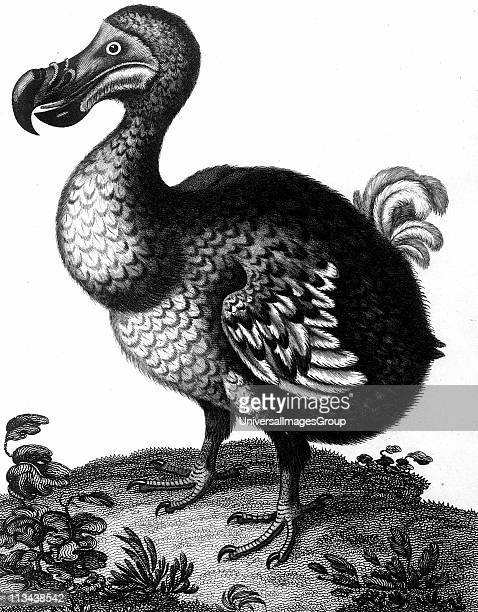 Dodo Raphus cucullatus formerly Didus ineptus extinct flightless bird from Madagascar First observed by Portuguese sailors in about 1507 by 1681 the...