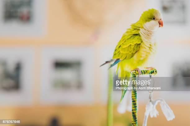 dodo the monk - dodo bird stock-fotos und bilder