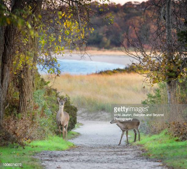 a doe and fawn along the path to the beach at elizabeth morton wildlife reserve - biche photos et images de collection