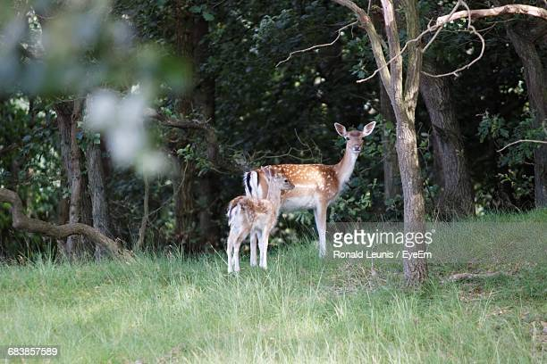 doe and fawn in forest - biche photos et images de collection