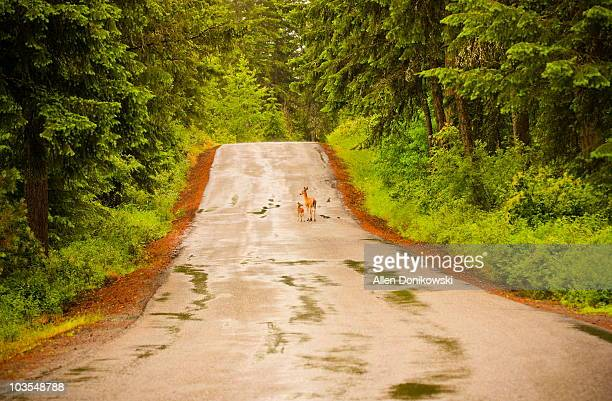 doe and fawn in the road - biche photos et images de collection