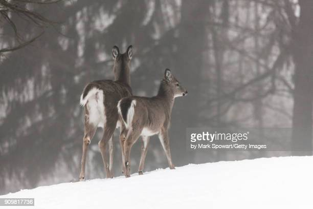 Doe and her fawns