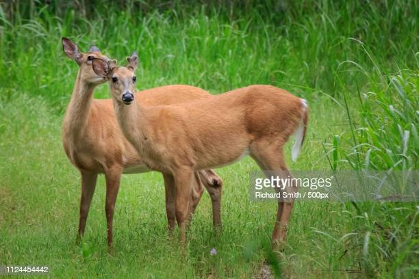 doe and yearling buck - springbok deer stock photos and pictures