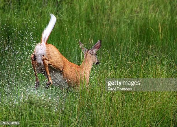 doe deer running through a marshland - femmina di daino foto e immagini stock