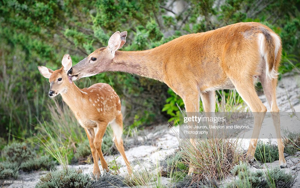 Doe Grooming Her Fawn at Fire Island National Seashore : Stock Photo