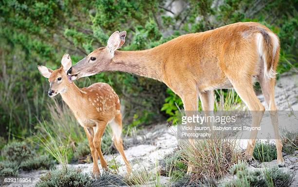 Doe Grooming Her Fawn at Fire Island National Seashore