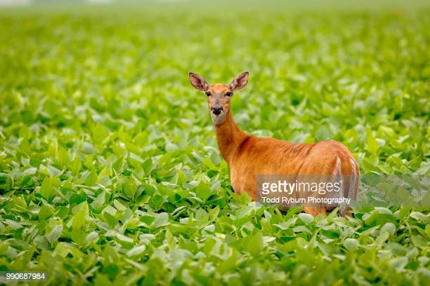 doe in a soybean field - femmina di daino foto e immagini stock