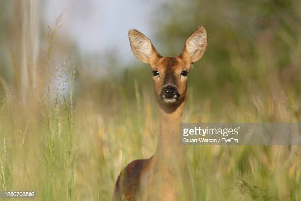 doe in field - taunton somerset stock pictures, royalty-free photos & images