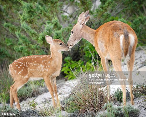 doe nuzzling her fawn at fire island national seashore - biche photos et images de collection