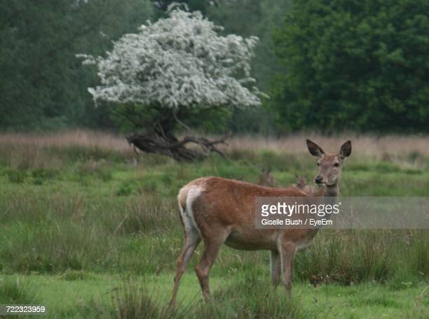 Doe On Grassy Field