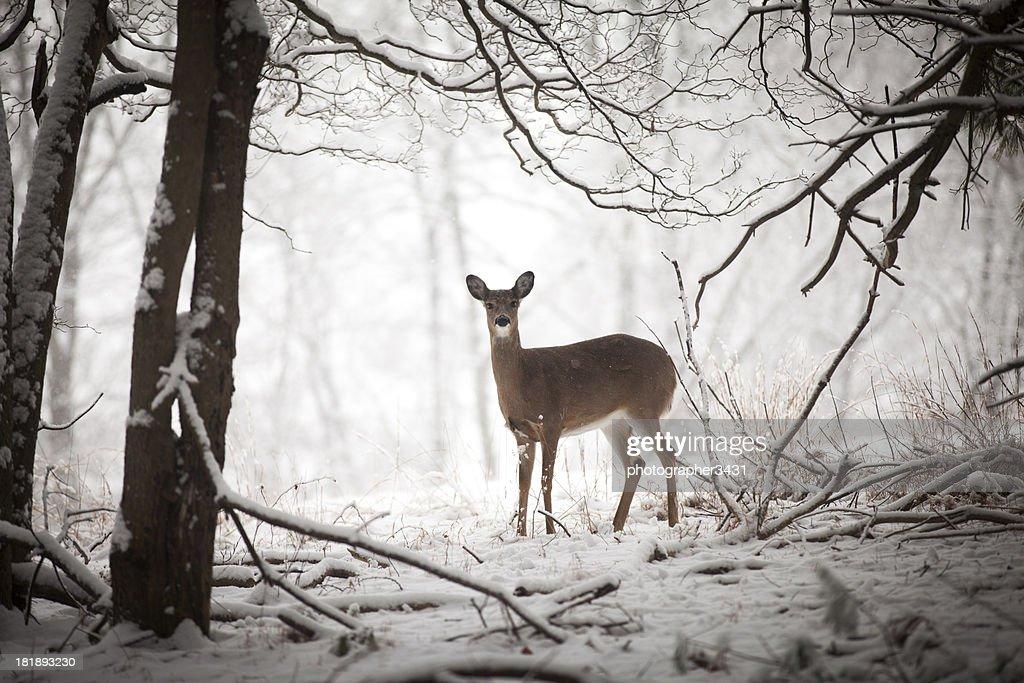 Doe stehen am Rand des woods : Stock-Foto