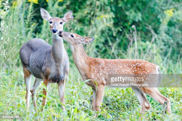doe with her fawn - fawn stock photos and pictures