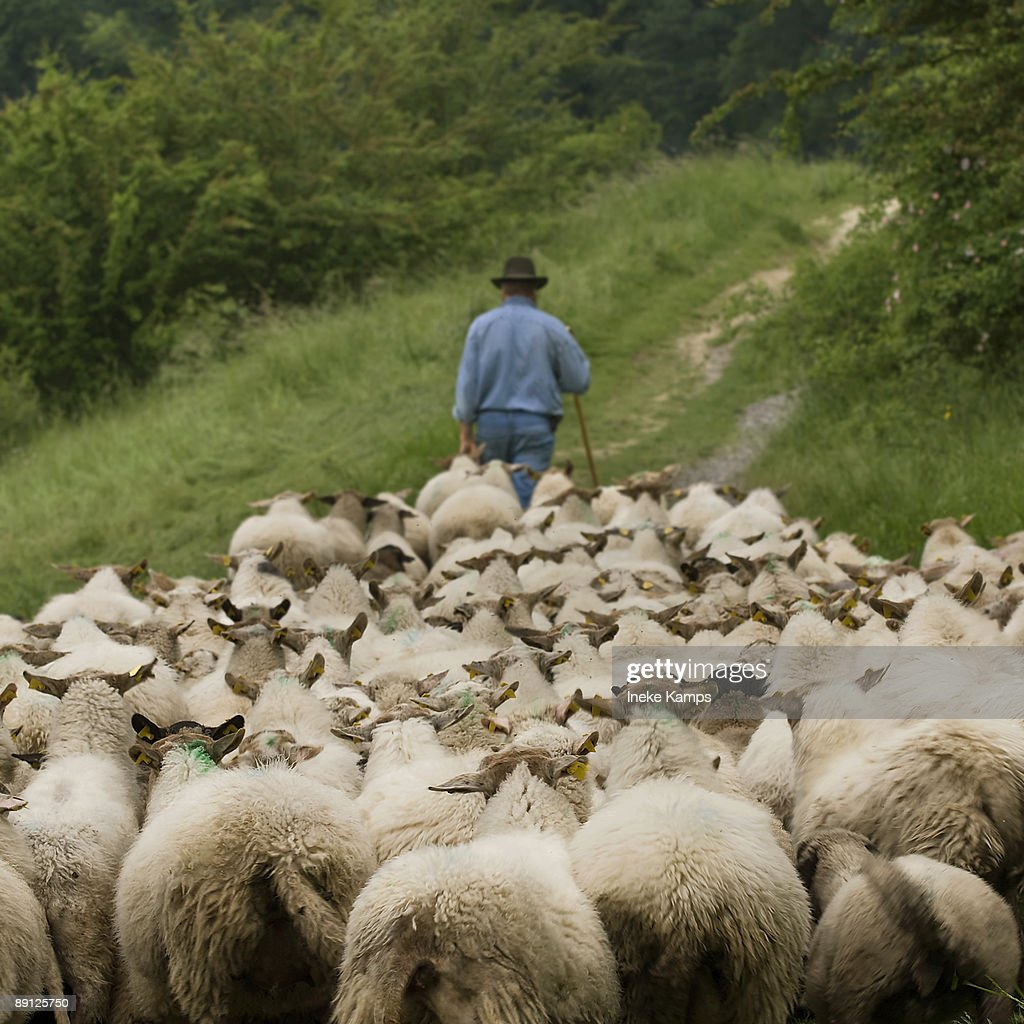 A shepherd leading his sheep to the meadows in the South of the Netherlands.