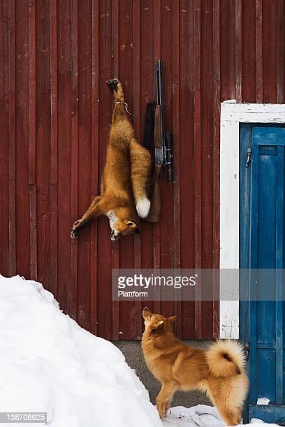 A dog, a fox and a gun, Norrland, Sweden.