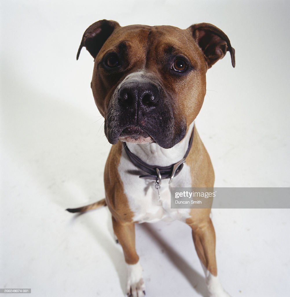 Dog American Staffordshire Terrier Sitting Stock Foto Getty Images