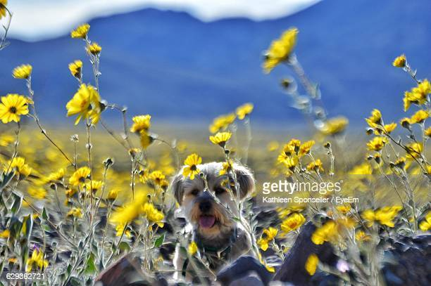Dog Amidst Yellow Wildflowers On Field At Death Valley National Park