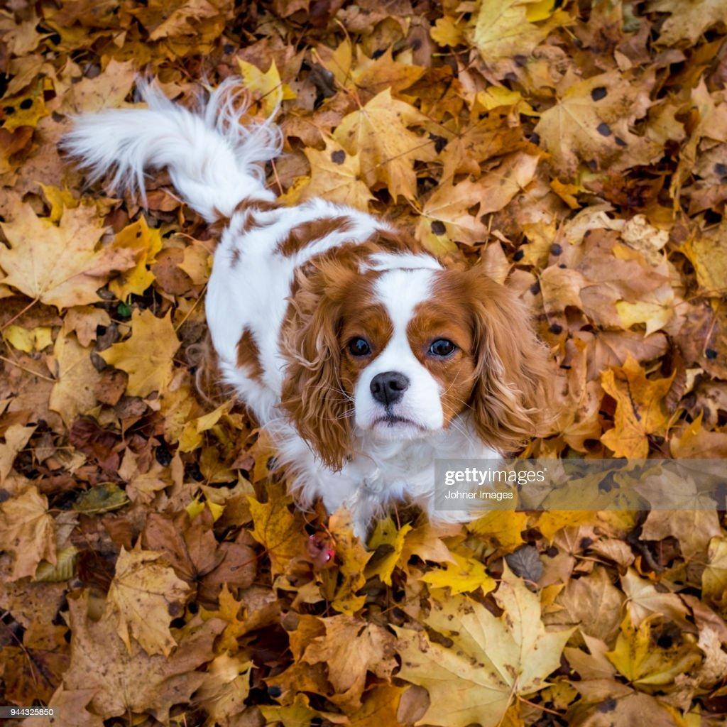 Dog among autumn leaves : Foto de stock