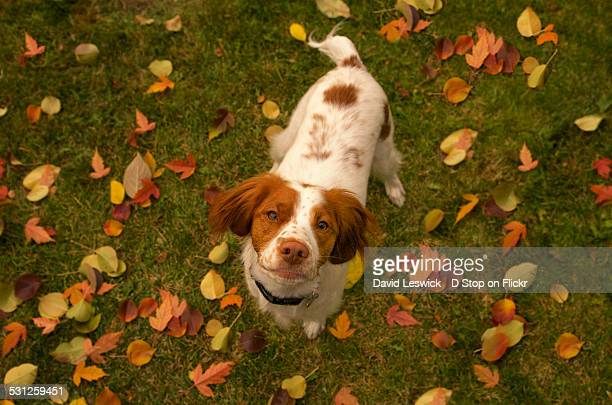 dog amongst the fallen leaves - brittany spaniel stock pictures, royalty-free photos & images