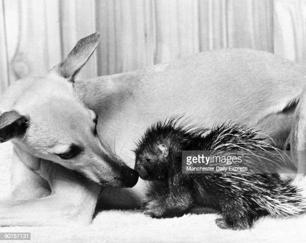 Dog and baby porcupine February 1977