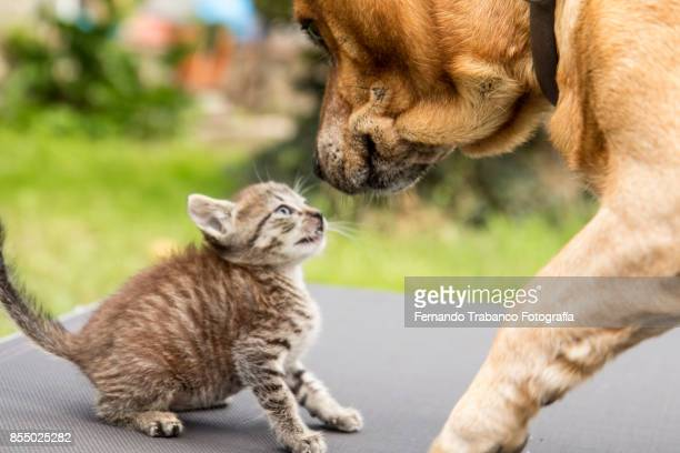 dog and cat look at each other with love - rivalidade - fotografias e filmes do acervo