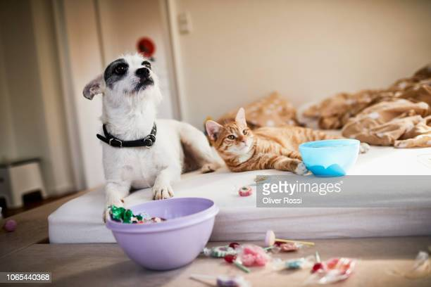 dog and cat lying on bed surrounded by sweets - cat and dog stock pictures, royalty-free photos & images