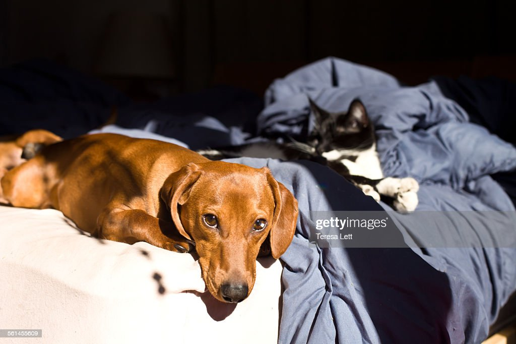 Dog and cat on bed : Stock Photo