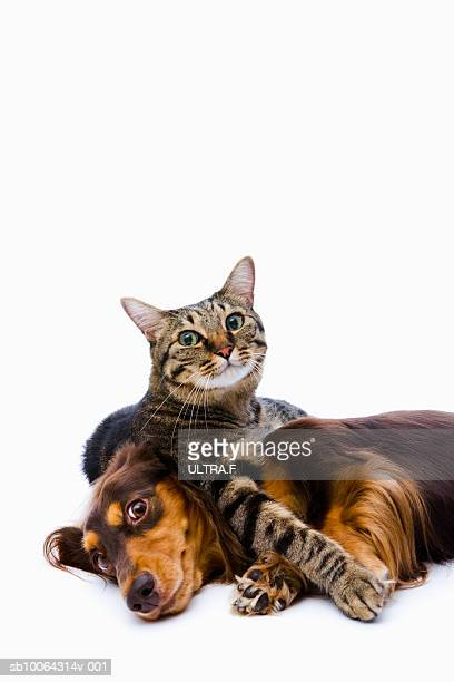 dog (dachshund) and cat (japanese cat) on white background - cat and dog stock pictures, royalty-free photos & images