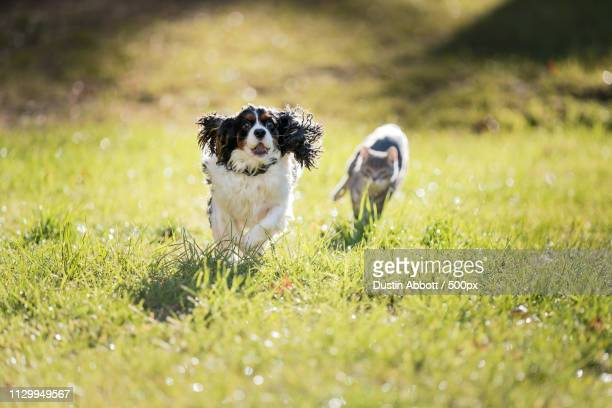 dog and cat running on grass - dustin abbott stock pictures, royalty-free photos & images