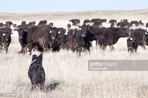 Dog and Cattle on Open Range