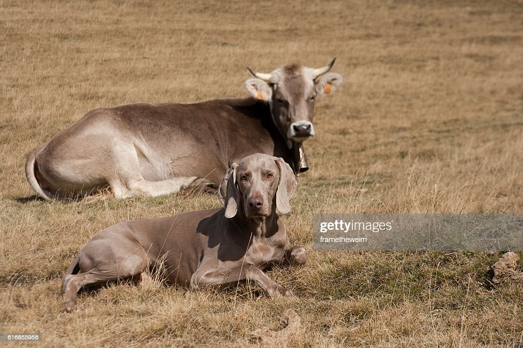 Dog and cow with the same look and color : Stock Photo