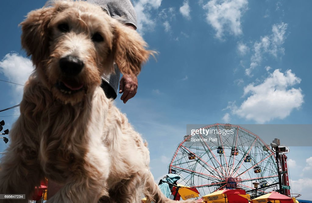 A dog and his owner walk along the boardwalk on a hot day at Coney Island on June 13, 2017 in the Brooklyn borough of New York City. Despite a mostly wet and cool spring, New York City has been experiencing days of sweltering weather with temperatures in the low 90's.