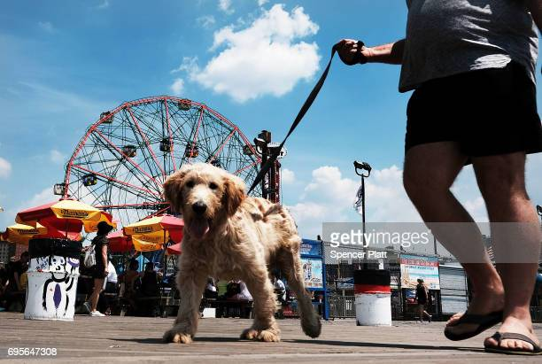 A dog and his owner walk along the boardwalk on a hot day at Coney Island on June 13 2017 in the Brooklyn borough of New York City Despite a mostly...