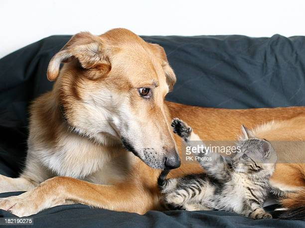dog and kitten - cat and dog stock pictures, royalty-free photos & images
