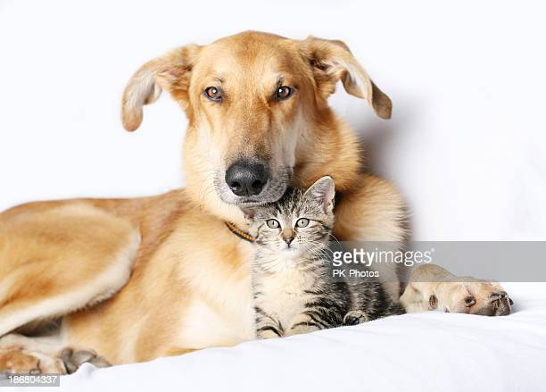 dog and kitten snuggling together - dog and cat stock photos and pictures