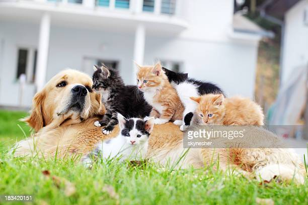 dog and little cats are lying outdoor. - dog and cat stock photos and pictures