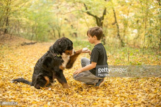 Dog and owner handshaking , Bernese Mountain Dog , Autumn colours, Transylvania, Romania