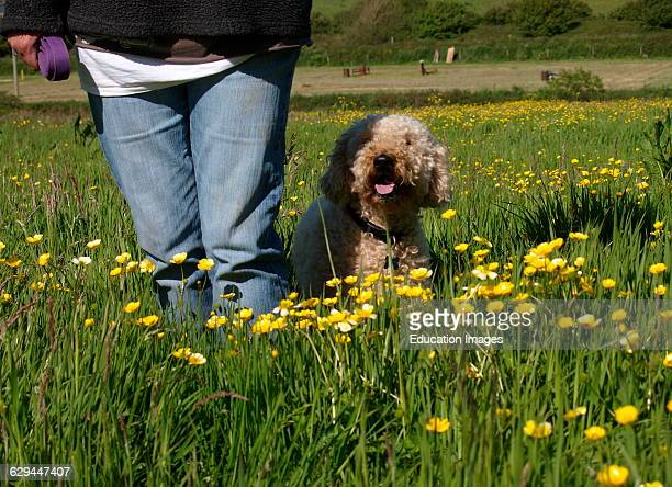 Dog and owner in a buttercup meadow Cornwall UK