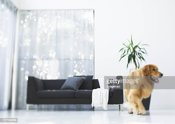 dog and sofa - one animal stock pictures, royalty-free photos & images