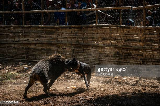 60 Top Wild Boar Hunting In Indonesia Pictures, Photos